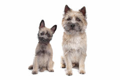 Puppy and adult cairn Terrier Royalty Free Stock Photos