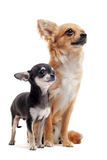 Puppy and adult chihuahua stock photos