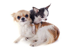 Puppy and adult chihuahua Stock Image