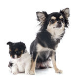 Puppy and adult chihuahua Stock Images