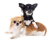 Puppy and adult chihuahua Royalty Free Stock Images