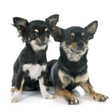 Puppy and adult chihuahua Stock Photo