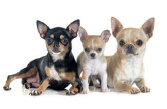 Puppy and adult chihuahua Royalty Free Stock Image