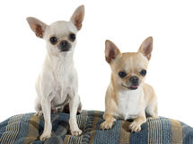 Puppy and adult chihuahua Royalty Free Stock Photography