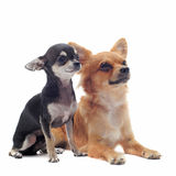 Puppy and adult chihuahuas Stock Images