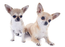 Puppy and adult chihuahuas Stock Photo