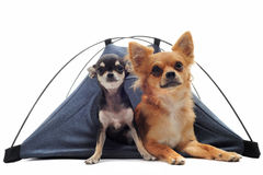 Puppy and adult chihuahuas in tent Royalty Free Stock Photography