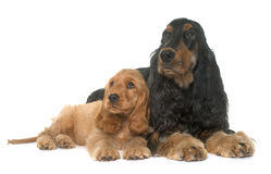 Puppy and adult cocker spaniel Royalty Free Stock Photos