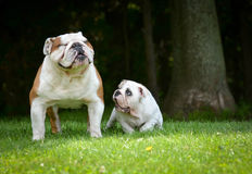 Puppy and adult dog playing Stock Images