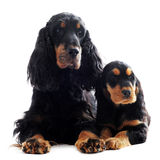 Puppy and adult english cocker Royalty Free Stock Photo