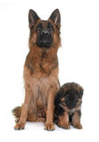 Puppy and adult german shepherd Royalty Free Stock Photo