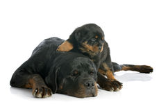 Puppy and adult rottweiler Royalty Free Stock Images