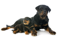 Puppy and adult rottweiler Royalty Free Stock Photography
