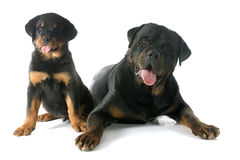 Puppy and adult rottweiler Stock Image