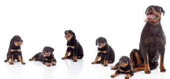 Puppy and adult rottweiler in front of white background Royalty Free Stock Photo