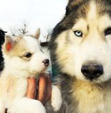 Puppy and adult Siberian Husky. The kid and his dad Stock Images
