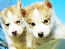 Puppy and adult Siberian Husky. The kid and his dad Stock Photography