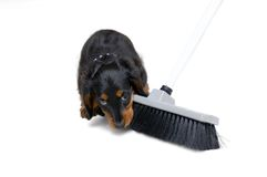 Puppy against cleaning. Small dachshound puppy biting in a broom Royalty Free Stock Photography
