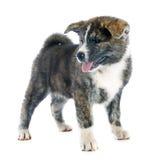 Puppy akita inu Royalty Free Stock Photo