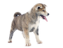 Puppy akita inu Royalty Free Stock Photos