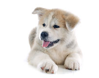 Puppy akita inu Royalty Free Stock Images