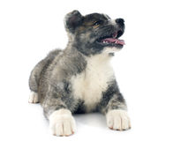Puppy akita inu Royalty Free Stock Photography