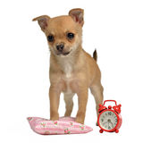 Puppy with alarm-clock and pillow Stock Images