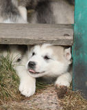 Puppy of Alaskan Malamute in spring Stock Photo