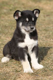 Puppy of Alaskan Malamute in spring Royalty Free Stock Images