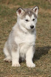 Puppy of Alaskan Malamute in spring Royalty Free Stock Photography