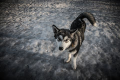 Puppy of alaskan malamute on a training ground in winter. Toned Royalty Free Stock Images