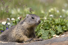 Puppy alpine marmot Stock Image