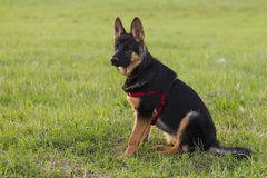 Puppy Alsatian dog on walk Royalty Free Stock Image