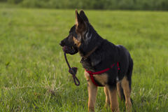 Puppy Alsatian dog on walk Stock Images