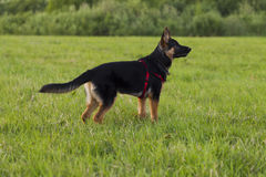 Puppy Alsatian dog on walk Stock Photography