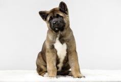 Puppy American Akita. Beautiful American Akita puppies on dog show Royalty Free Stock Photography