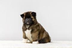 Puppy American Akita. Beautiful American Akita puppies on dog show Royalty Free Stock Photo