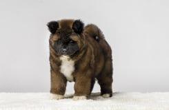 Puppy American Akita. Beautiful American Akita puppies on dog show Stock Photo