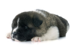 Puppy american akita Stock Photography