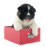 Puppy american akita Stock Images