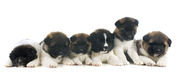 Puppy american akita Royalty Free Stock Images