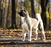 Puppy American akita portrait Stock Images