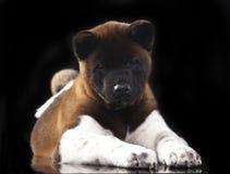 Puppy American akita portrait Stock Photography