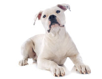 Puppy american bulldog Royalty Free Stock Photography