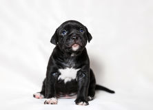 Puppy American bullies. Little cute puppy Royalty Free Stock Images