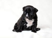 Puppy American bullies. Little cute puppy Stock Photo