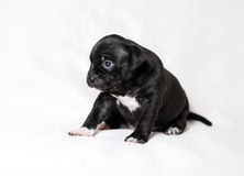 Puppy American bullies Stock Images