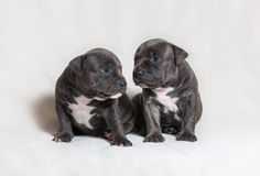 Puppy American bullies Royalty Free Stock Image