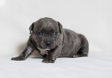 Puppy American bullies Stock Photography