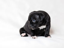 Puppy American bullies. Little cute puppy Royalty Free Stock Image